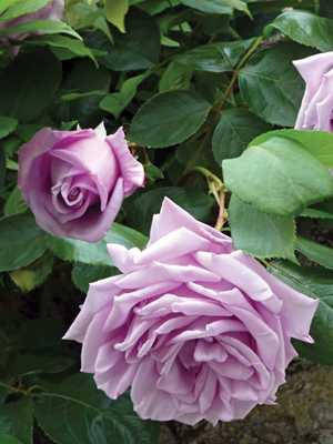 Роза голубая плетистая отзывы