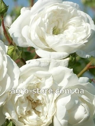 Роза почвопокровная свани отзывы