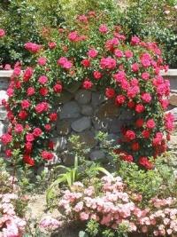 седая дама роза фото