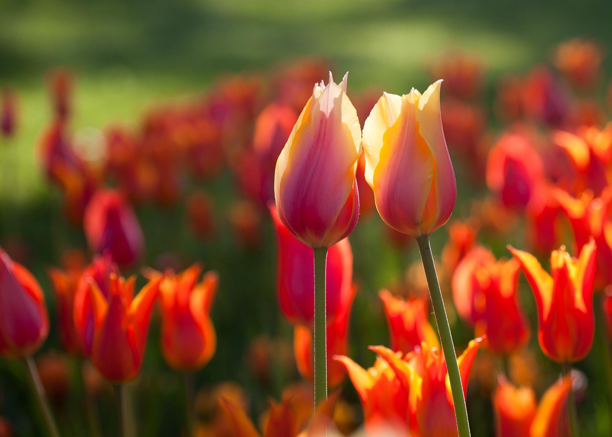 Аудиокнига цветы сливы в золотой вазе или цзинь пин мэй