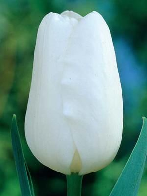 и дрим фото описание вайт тюльпан
