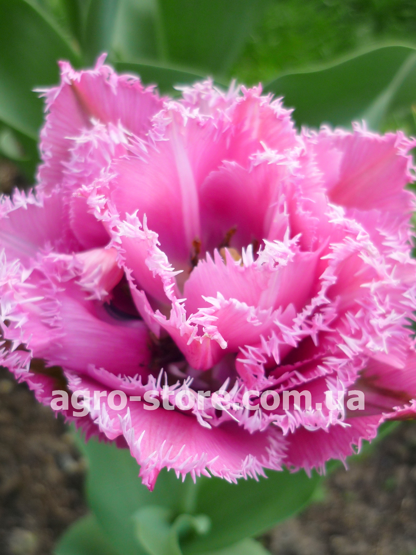 37d48e300948 Голландия - Тюльпан махрово-бахромчатый Matchpoint (Матчпоинт ...
