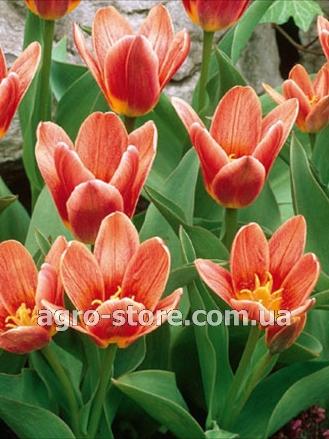 Тюльпаны купить семена